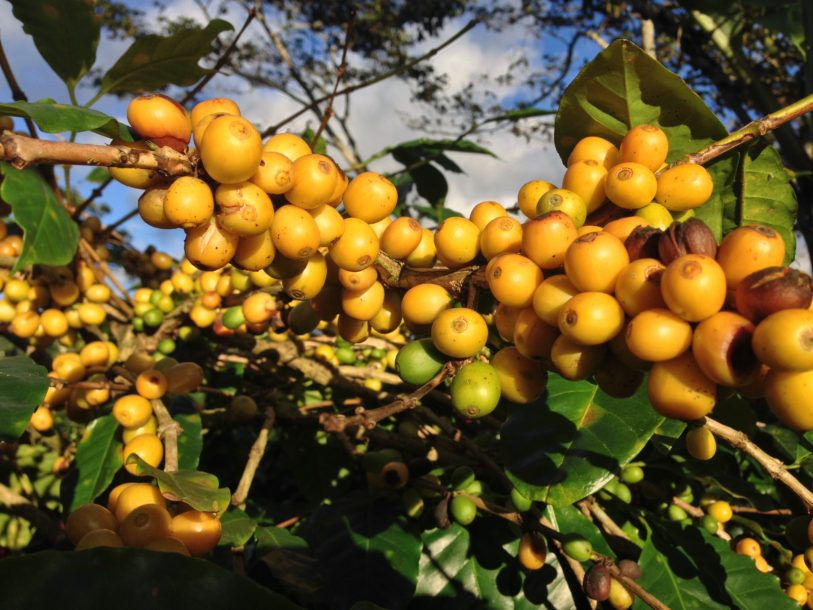 Coffee Varieties